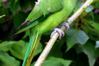 Indian ring neck Parrot in Bug