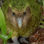 Kakapo Parrot , 8 Nice Kakapo Parrot In Birds Category