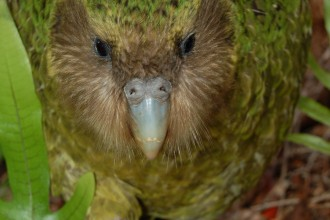 Kakapo Parrot in Plants