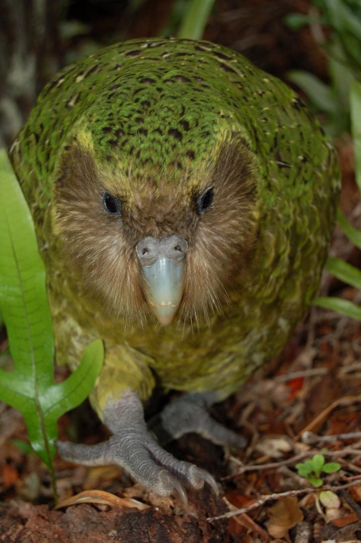 Birds , 8 Nice Kakapo Parrot : Kakapo Parrot