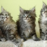 Kittens Maine Coon , 7 Popular Coon Cat Pictures In Cat Category