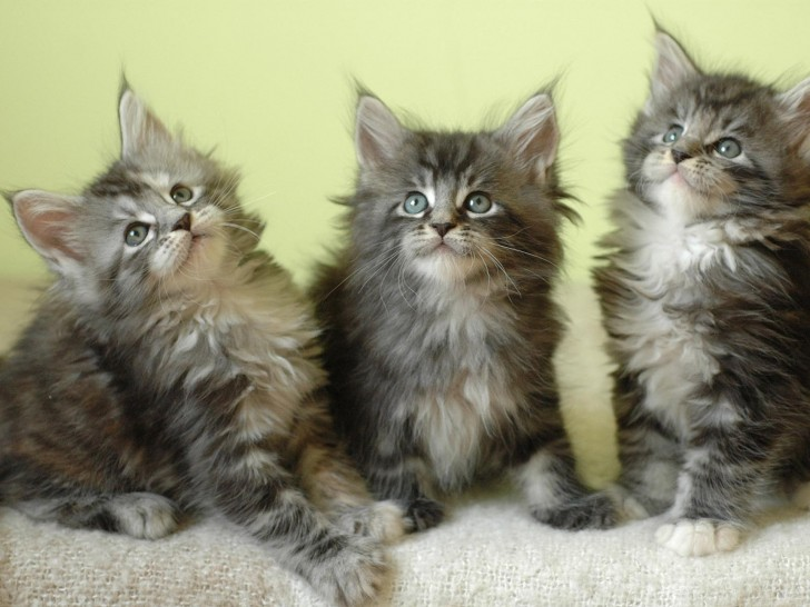 Cat , 7 Popular Coon Cat Pictures : Kittens Maine Coon