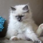Kittens Ragdoll , 5 Gorgeous Ragdoll Cats Pictures In Cat Category