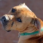 Lucas the dog , 6 Popular Michael Vick Dog Fighting Pictures In Dog Category