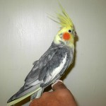 Lutino Pearl Cockatiel , 6 Nice Cockatiel Breeders In Birds Category