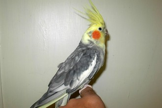 Lutino Pearl Cockatiel in Beetles