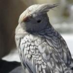 Lutino Pearl Cockatiel Male , 7 Beautiful Pearl Cockatiel In Birds Category