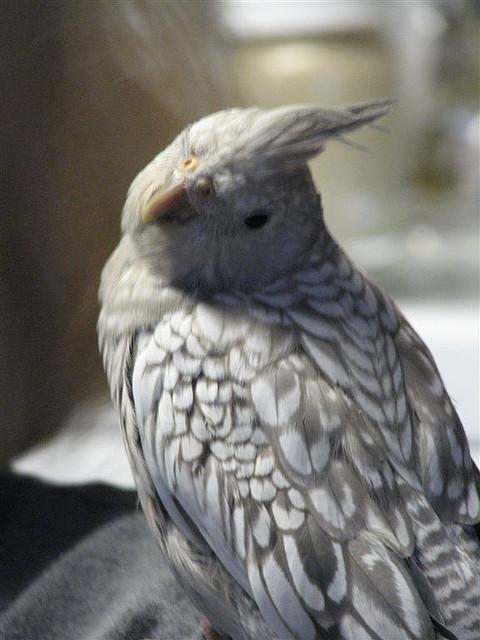 Whiteface Pearl Cockatiel Lutino Pearl Cockatiel...