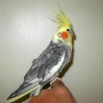 Lutino Pearl Cockatiel , 7 Beautiful Pearl Cockatiel In Birds Category