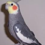 Lutino cockatiel , 7 Nice Lutino Cockatiel In Birds Category