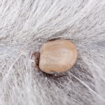 Lyme Disease in Dogs , 6 Stunning Lyme Disease In Dogs Pictures In Dog Category