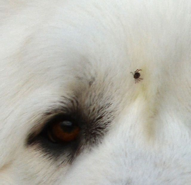 Dog , 6 Stunning Lyme Disease In Dogs Pictures : Lyme Disease