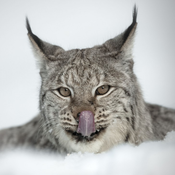 Cat , 5 Gorgeous Pictures Of Lynx Cats : Lynx Cat Face