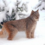 Lynx cat , 5 Gorgeous Pictures Of Lynx Cats In Cat Category