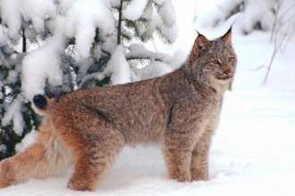 Lynx cat in Dog