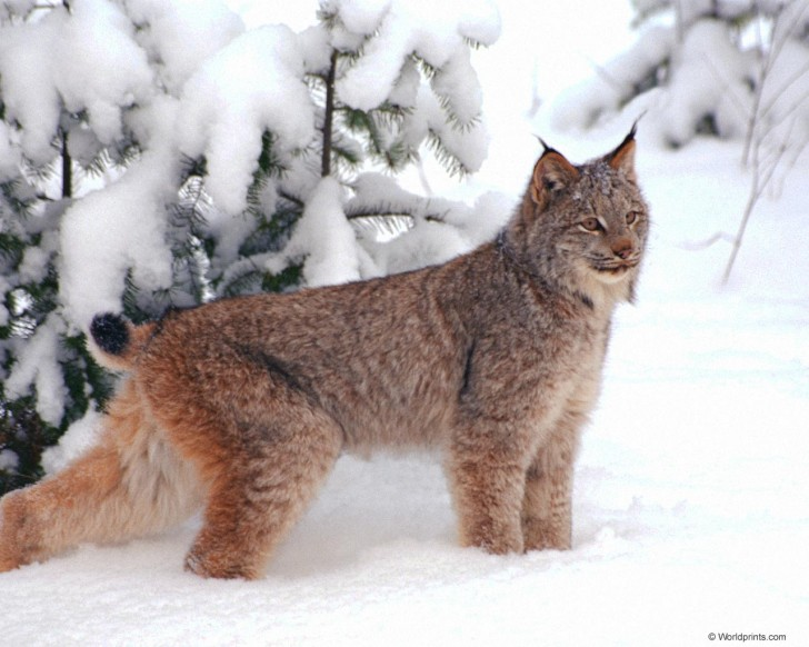 Cat , 5 Gorgeous Pictures Of Lynx Cats : Lynx Cat