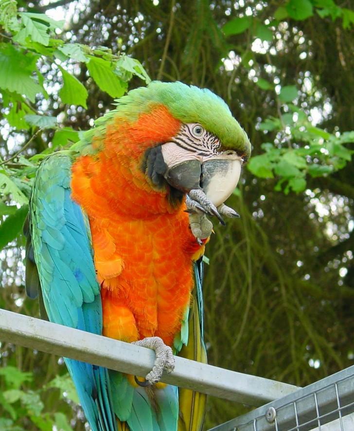 Birds , 7 Good Macaw Lifespan : Macaw Parrot