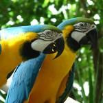 Macaw Parrots , 6 Beautiful Parrot Lifespan In Birds Category