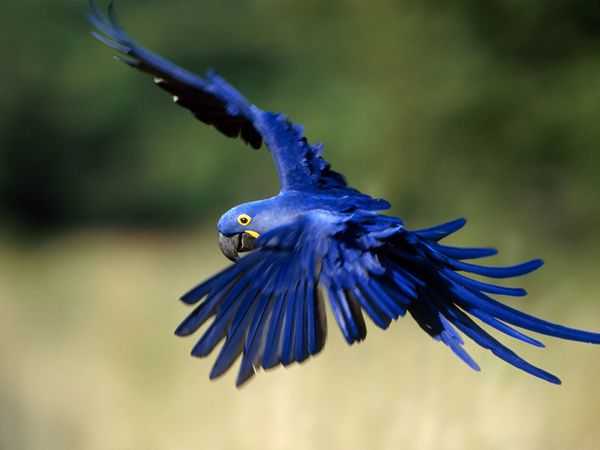 Birds , 7 Cool Macaw Facts For Kids : Macaw Pictures