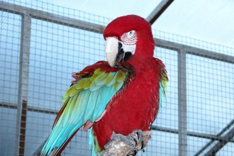 Macaw Pictures , 8 Charming Green Wing Macaw In Birds Category