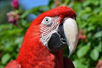 Macaw Portrait , 9 Beautiful Green Wing Macaw In Birds Category