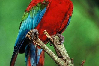 Macaws in Birds