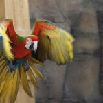 Macaws images , 8 Wonderful Types Of Macaws In Birds Category