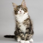 Maine Coon Cat , 6 Cute Maine Coon Cats Pictures In Cat Category