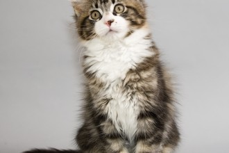 Maine Coon Cat in Scientific data