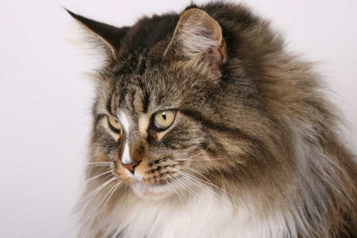 Cat , 7 Beautiful Pictures Of Maine Coon Cats : Maine Coon Cat Pictures