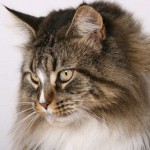 Maine Coon Cat Pictures , 7 Popular Coon Cat Pictures In Cat Category