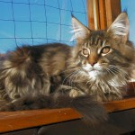 Maine Coon Cat , 7 Beautiful Pictures Of Maine Coon Cats In Cat Category