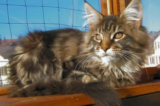 Maine Coon Cat in Cell