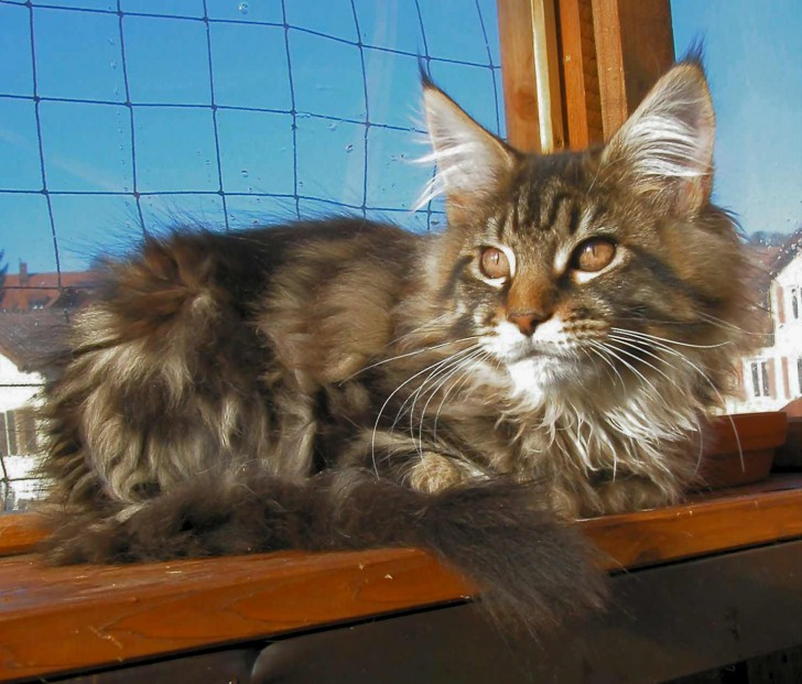 Cat , 7 Beautiful Pictures Of Maine Coon Cats : Maine Coon Cat