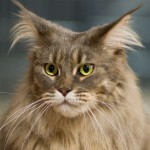Maine Coon Cats , 6 Cute Maine Coon Cats Pictures In Cat Category
