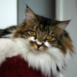 Maine Coon Cats , 7 Beautiful Pictures Of Maine Coon Cats In Cat Category