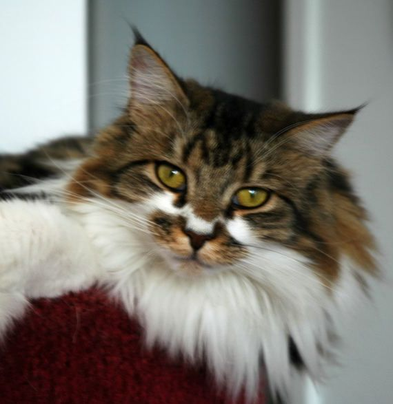 Cat , 7 Beautiful Pictures Of Maine Coon Cats : Maine Coon Cats