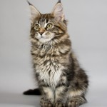 Maine Coon Cats , 7 Popular Coon Cat Pictures In Cat Category
