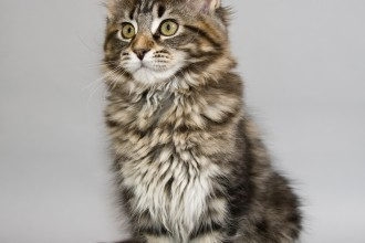 Maine Coon Cats in Dog