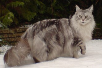 Maine Coon Silver Tabby , 7 Popular Coon Cat Pictures In Cat Category
