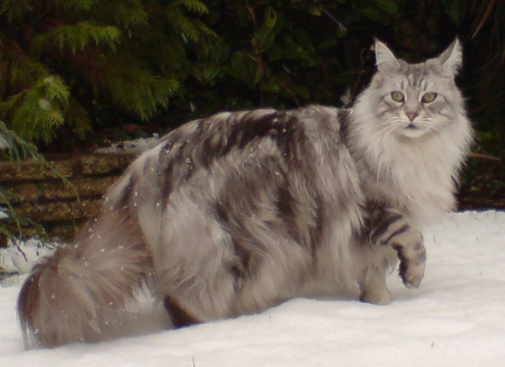 Cat , 7 Popular Coon Cat Pictures : Maine Coon Silver Tabby