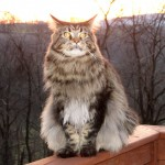 Maine Coon , 7 Beautiful Pictures Of Maine Coon Cats In Cat Category
