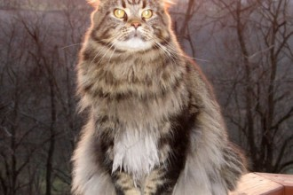 Maine Coon in Laboratory