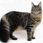 Mainecoon , 6 Lovely Cat Breeds With Pictures In Cat Category