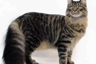 Mainecoon in Genetics