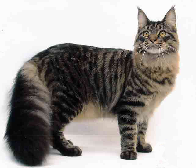 Cat , 6 Lovely Cat Breeds With Pictures : Mainecoon
