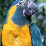 Makari the blue Throated Macaw , 7 Awesome Blue Throated Macaw In Birds Category