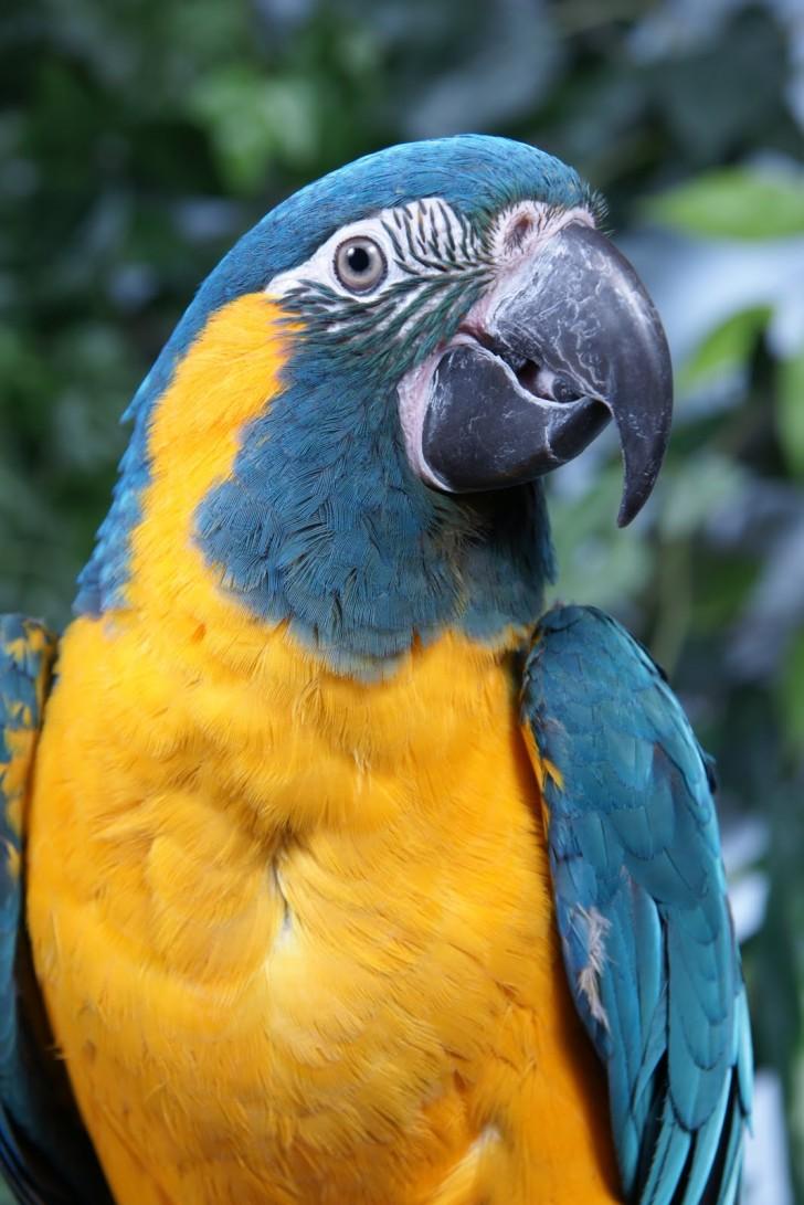 Birds , 7 Awesome Blue Throated Macaw : Makari The Blue Throated Macaw