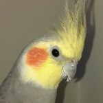 Male Cockatiel , 8 Fabulous Cockatiel Pictures In Birds Category