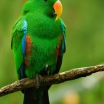 Male Eclectus Parrot , 8 Nice Eclectus Parrot In Birds Category